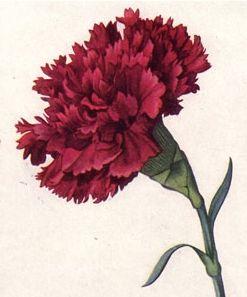 signification de l'œillet dans le langage des fleurs