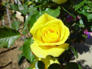 Signification De La Rose Jaune Dans Le Langage Des Fleurs
