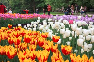tulipe langage des fleurs