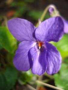 Signification De La Violette Dans Le Langage Des Fleurs