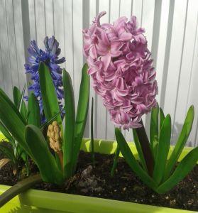 le langage des fleurs de la jacinthe en fonction de sa couleur. Black Bedroom Furniture Sets. Home Design Ideas