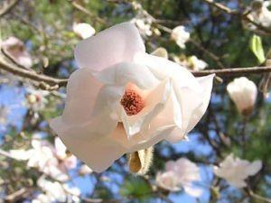 Magnolia en avril