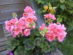 geranium en avril