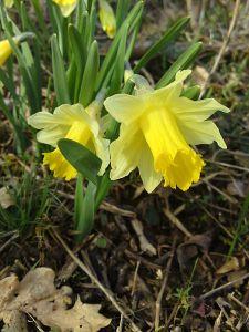 la jonquille et sa signification dans le langage des fleurs