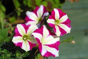 Les fleurs du mois de juin