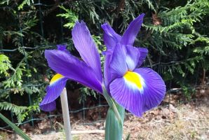 Iris en juillet