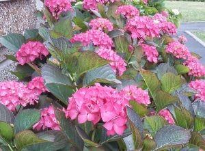 hortensia en juillet