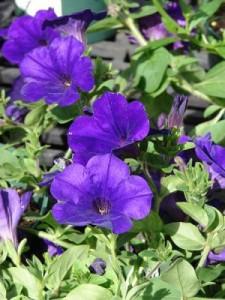 pétunia : fleurs de P à Z