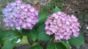 langage des fleurs signification de l 39 hortensia. Black Bedroom Furniture Sets. Home Design Ideas