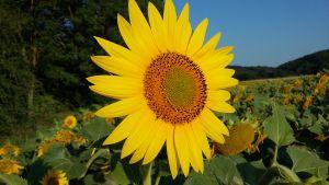 langage des fleurs : signification du tournesol