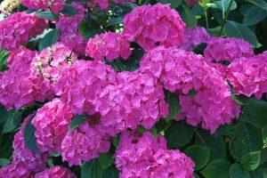 hortensia de l'été
